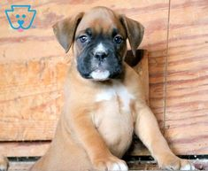 Bubba | Boxer Puppy For Sale | Keystone Puppies