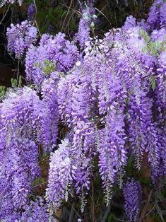 Blue Chinese Wisteria Plant - Wisteria sinensis - Perennial Shrub, climbing vine There are several Wisteria Sinensis, Wisteria Plant, Purple Wisteria, Purple Flowers, Wisteria Japan, Container Gardening, Gardening Tips, Organic Gardening, Gardening Quotes