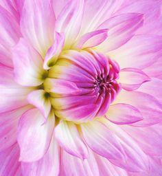 Pink dalia - Bloomquist Parasol