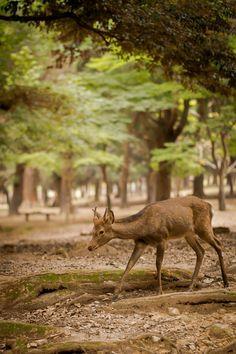 Nara deer [OC] [1333x2000]