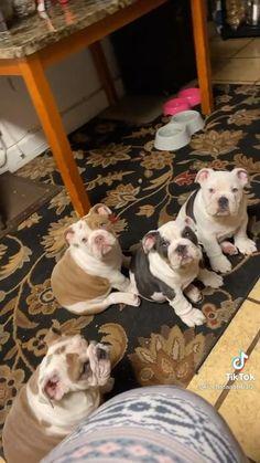 Cute Bulldog Puppies, Cute Bulldogs, Cute Baby Dogs, English Bulldog Puppies, Cute Funny Dogs, Cute Dogs And Puppies, Cute Funny Animals, Cute Puppy Videos, Cute Animal Videos