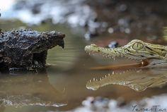 Beast vs Beast - Aligator Snapping Turtle with Saltwater Crocodile