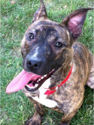 April is an adoptable Pit Bull Terrier Dog in Chicago, IL. April is a lively, playful pit bull terrier mix., At just under a year old, she's good on a leash, quiet and dog friendly. This sweet, gentle...
