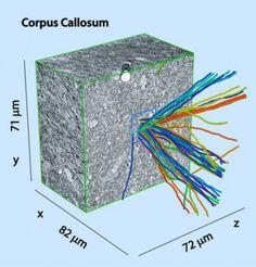 Método para obtener el plano completo de las conexiones entre todas las neuronas de un cerebro