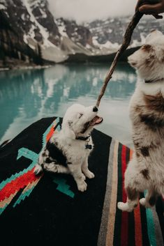Moraine Lake Adventure with Two Pups Aussie Puppies, Cute Puppies, Cute Dogs, Dogs And Puppies, Doggies, Cute Dog Pictures, Dog Photos, Animal Pictures, Cute Funny Animals