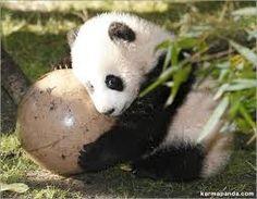 pandas bebes - Buscar con Google