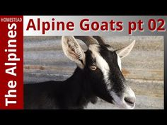 The Alpines Homestead - Farming with Alpine Goats Part 2
