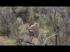Burrowing Owl - YouTube