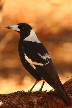 Magpie Tattoo, Bird Types, Crows Ravens, Mosaic Artwork, Australian Birds, Backyard Birds, Small Art, Character Aesthetic, Colorful Birds