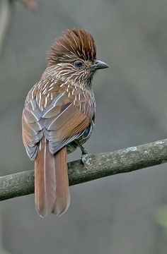Gestreepte lijstergaai - Striated Laughingthrush (Garrulax striatus) in India by Doraiswamy Swethadri.