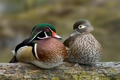 have a breeder pair of wood duck for sale. They are healthy and in good condition. Price offered is for the pair.I have listed it for auction at frankstrade.com  Key; pheasants, pheasant, peacocks, quail, goose, pigeons, doves, dogs, birds, fowl, quails, pheasants, eggs, yellow, crested, vulturine, phoenix, blue, scale, albino, pigeon, livestock, rabbit, rabbits, chick, golden, silver, impeyan, tragopan, mandarin, duck, ducks, bantams, birmingham rollers, black shoulder peafowl, breeders