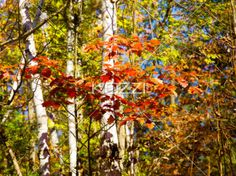 red leaves and birch trees - Red leaves on small branches in front of birch trees
