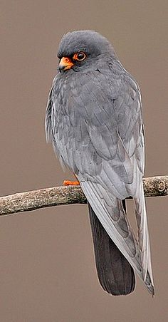 Male Red-footed Falcon,  Bulgaria