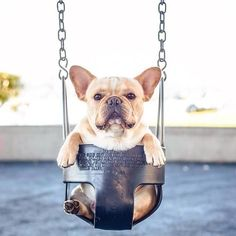 French bulldog In A Swing cute animals dogs swing adorable dog animal pets bulldog french bulldog