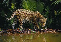 jaguar #jaguar #safari - Explore the World with Travel Nerd Nici, one Country at a Time. http://TravelNerdNici.com