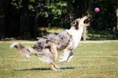 Alice, an old-fashioned, Scottish-type Collie demonstrating the incredible athleticism of the breed. Scotch Collie, Livestock, Corgi, The Incredibles, Cats, Alice, Animals, Play, Type