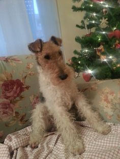 Chicco waiting for Santa, cute terrier . Fox Terriers, Wirehaired Fox Terrier, Wire Fox Terrier, Terrier Puppies, Vintage Pictures, More Pictures, I Love Dogs, Cute Dogs, Wire Haired Terrier