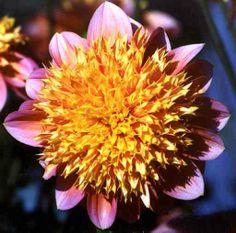 Goldie Gull: Anemone, AN-LB, Y/PK