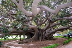Banyan tree or ficus magnolioides, from the gardens of Villa Malfitano, Palermo. This Villa and its extensive gardens were begun in 1886 by Joseph Whitaker, grandson of Ingham Whitaker, an English wine merchant who had set up both shop and ship-building in Sicily.
