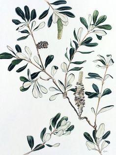 Banksia No. 3 - watercolour on paper, 46 x By Pip Spiro Australian Wildflowers, Australian Native Flowers, Australian Art, Botanical Flowers, Botanical Prints, Plant Illustration, Digital Illustration, Botanical Drawings, Floral Illustrations