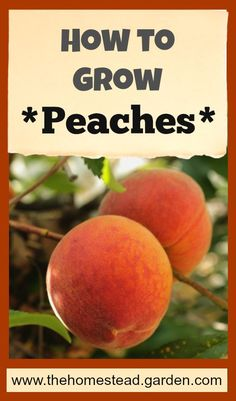 to Grow Peaches Learn how to grow peaches. Peaches are a super tasty treat that you can enjoy from your own yard with just a few tips. Learn more about peach growing here.Learn how to grow peaches. Peaches are a super tasty treat that you can enjoy from Growing Fruit Trees, Growing Plants, Growing Vegetables, Fruit Garden, Garden Trees, Edible Garden, Herbs Garden, Homestead Gardens, Farm Gardens