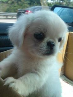 Are you in the mood to see some adorable photos of Pekingese puppies? This is a list of some of the cutest Pekingese puppies ever. Positive Dog Training, Basic Dog Training, Training Your Puppy, Training Dogs, Yorkies, Pekingese Puppies, Cute Puppies, Cute Dogs, Dogs And Puppies