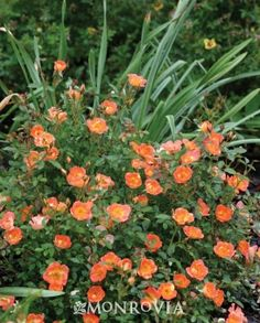 Key feature: Disease Resistant Plant type: Shrub Deciduous/evergreen: Deciduous Cold hardiness zones: 4 - 9 Light needs: Full sun Water Needs: Needs regular watering, weekly or more often in extreme heat. Average landscape size: Reaches 12-24 inches tall, up to 36 inches wide. Growth rate: Moderate Flower attribute: Showy Flowers Special features: Attracts Butterflies, Easy Care, Improved Pest and Disease Resistance Blooms: Summer Foliage color: Dark Green Item no.: 7498