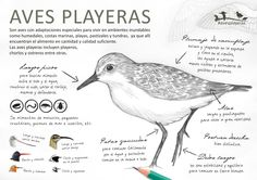 Info características de las aves playeras
