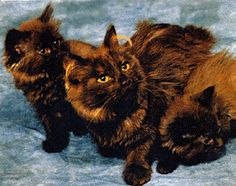 "The breeding of the Tiffany\Chantilly began in 1967 when Jennie Robinson of New York purchased ""Thomas"" and ""Shirley,"" a pair of longhaired chocolate cats with gold eyes and unknown background, which were being sold as part of an estate sale. Chantilly Cat, Chantilly Tiffany, Exotic Cat Breeds, All Cat Breeds, Chocolate Cat, Purebred Cats, Maine Coon Cats, Pretty Cats"