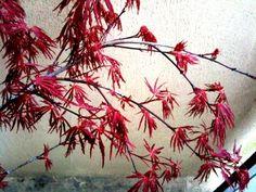 Tamukeyama, a Japanese red lace leaf maple tree.