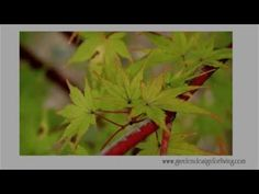 """Coral Bark Japanese Maple - Acer palmatum """"Sango Kaku"""" -- Find out how to use this amazing tree in your garden at http://gardendesignforliving.com/?p=877"""
