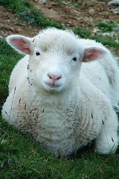 Smiling   Sheep   / Check out Charter Arms on Pinterest or visit our web-sight at  CharterFireArms.Com