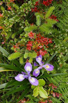 John Shaw, Oregon iris
