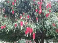 1000 Images About Florida Trees Flowering On Pinterest