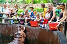 Hungry Hungry Hippos at Chiang Mai Zoo