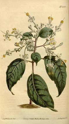 8524 Clerodendrum to