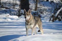 Shadow, Tamaskan dog, female