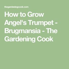 How to Grow Angel's Trumpet - Brugmansia - The Gardening Cook
