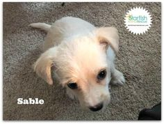 Check out Sable's profile on AllPaws.com and help her get adopted! Sable is an adorable Dog that needs a new home. https://www.allpaws.com/adopt-a-dog/chihuahua-mix-terrier/6080935?social_ref=pinterest