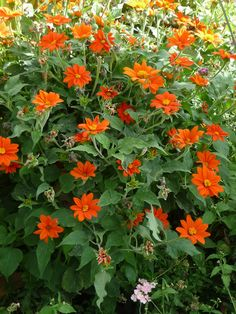 """""""Flowers that remind one of hot continental summers include the Mexican sunflower...Tithonia rotundifolia, which always brings back Giverny for me..."""""""