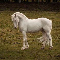 black few spot - Knabstrupper stallion Thore Vom Pferdehof
