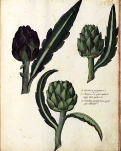 Botanical - Artichoke - Italian