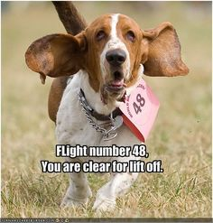 1000+ images about Beautiful Beagles, Bloodhounds ...