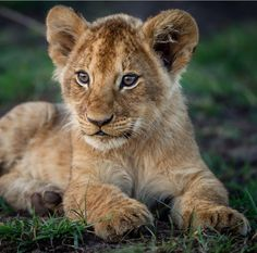 Lion cubs are the best. Big Cats, Cats And Kittens, Cute Cats, Beautiful Cats, Animals Beautiful, Cute Baby Animals, Animals And Pets, Images Roi Lion, Wild Animals Pictures
