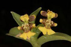Raycadenco ecuadorensis - Synonym: Fernandezia ecuadorensis