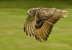 Grand duc d'Europe - Eurasian eagle-Owl - Búho Real ( Bubo bubo ) panning by Ronald Coulter on Panning Photography, Foto Nature, Eurasian Eagle Owl, Eagle In Flight, Great Horned Owl, Beautiful Owl, Types Of Animals, Kinds Of Birds, Birds Of Prey
