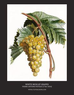White Muscat Wine Grapes - Illustration by Pierre Antoine Poiteau