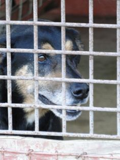 Jake -:Shepherd / Rottweiler (short coat) Age: Senior Gender: Male Shelter Information: Jay County Animal Control 2209 E 100 S Portland, IN Shelter dog ID: Jake Contacts: Phone: 260-726-4365 Name: Kathy Fields email: jaycountyanimalcontrol@yahoo.com Read more at http://www.dogsindanger.com/dog.jsp?did=1412000653287#vJqicHMDzs00edLQ.99