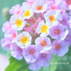 #ランタナ#Lantana#flower