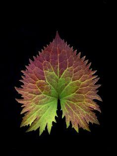 . Leaves Of Grass, Green Leaves, Autumn Leaves, Plant Leaves, Leaf Photography, Organic Form, Plant Illustration, Leaf Art, Belleza Natural